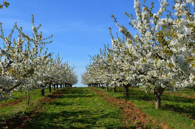 Ses cerisiers