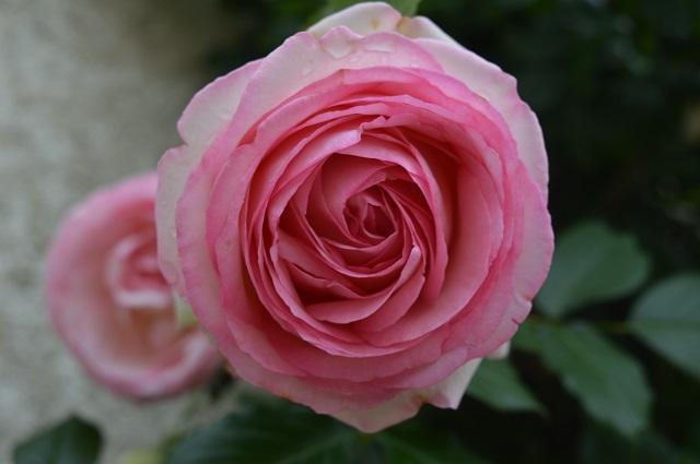 Ses roses